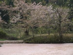 折角の桜吹雪もボケた画になってしまった・・・。