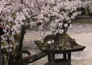 飛騨護国神社の桜