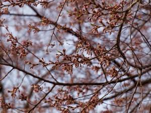 2012/4/29 早朝の荘川桜