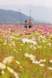 藤原京跡のコスモス畑