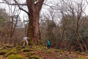 栃の巨樹。前鬼小仲坊から釈迦ケ岳への登山道を約30分
