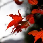 晩秋の紅葉。 季節が逆戻りしたような暖かい日が続いていてもやっぱり晩秋ですね。