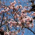 神立の桜。たぶん・・・